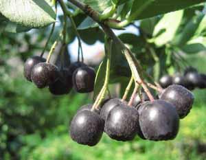 Черноплодная рябина, рецепты, свойства